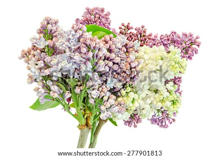 Purple, pink and white branch Syringa vulgaris (lilac or common lilac) flowers, close up, isolated, white background. - stock photo