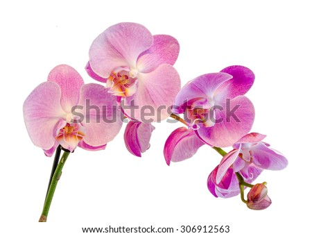 Purple, pink branch orchid  flowers, Orchidaceae, Phalaenopsis known as the Moth Orchid, abbreviated Phal. White background. - stock photo
