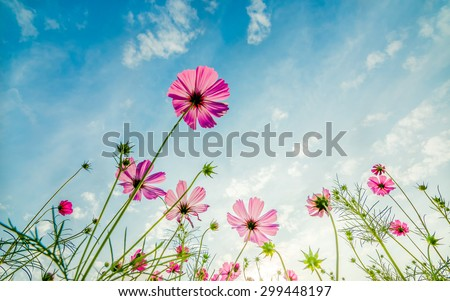 Purple, pink, red, cosmos flowers in the garden with blue sky and clouds background in vintage style soft focus. - stock photo