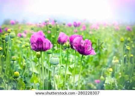 Purple poppy flowers - stock photo