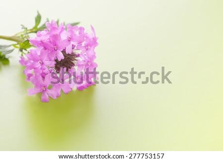 Purple Prairie Verbena flower on gradient green background - stock photo