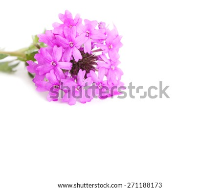 Purple Prairie Verbena on white, with copy space - stock photo