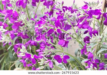 Purple Primula - stock photo