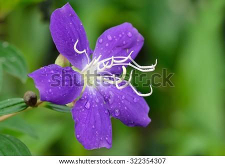 Purple princess flower or brazilian spider flower or Glory Bush - stock photo
