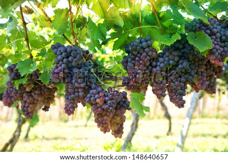 purple red grapes with green leaves on the vine. vine grape fruit plants outdoors with sunbeams - stock photo