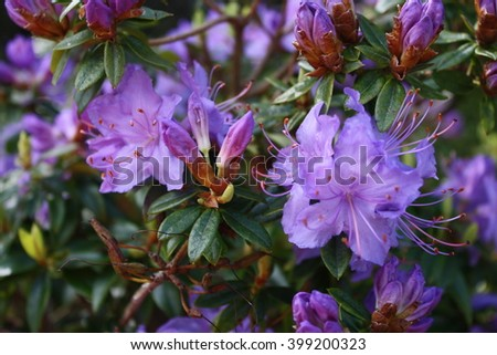 Purple rhododendron blossoms - stock photo