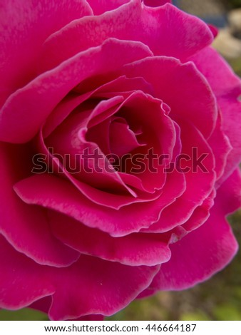 Purple rose, close up in nature - stock photo