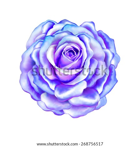 Purple Rose Flower, Sexy and beautiful and rose bud isolated on white background - stock photo