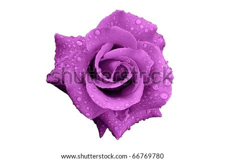 Purple Rose Flower with Rain Drops Isolated on White - stock photo