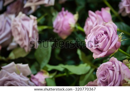 Purple roses and green branches - stock photo