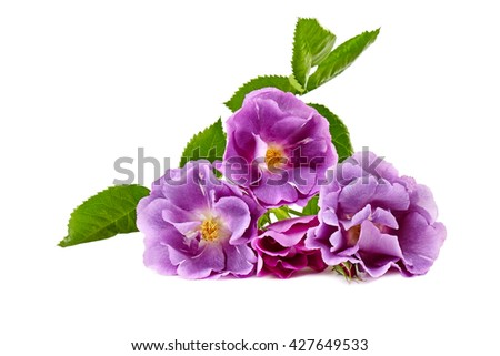 purple roses bouquet on a white background - stock photo