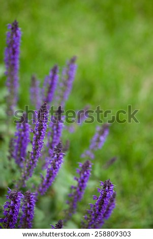 Purple salvia plant growing in the garden with space for text - stock photo