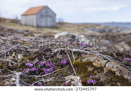 Purple saxifrage flowering at Norwegian coastal rocks, an old gray boathouse on the background. Focus on flowers in front. - stock photo