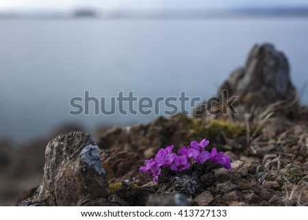 Purple saxifrage flowering at seaside rocks. Photographed in Helgeland, Nordland, Norway. Very shallow DOF. - stock photo