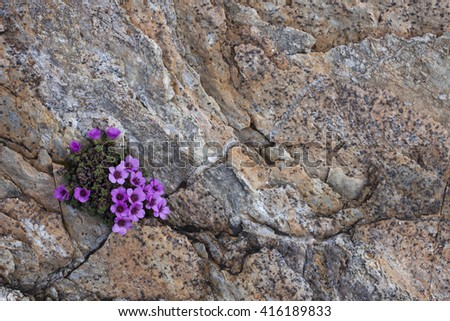 Purple saxifrage flowering in small crack at rock surface. Photographed in Helgeland, Nordland, Norway. - stock photo
