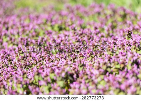 Purple Spring Flowers Field Blossom In Spring - stock photo