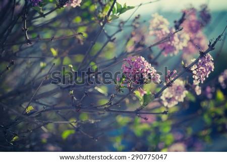 Purple spring lilac flowers blooming close-up. Syringa vulgaris. Vintage - stock photo