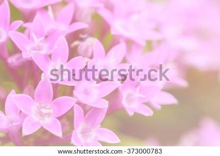 Purple Star Cluster flowers blooming (Pentas lanceolata), Macro - stock photo