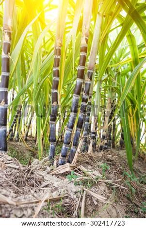 purple sugar cane in the field - stock photo