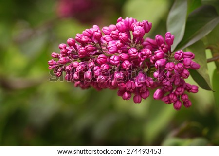 Purple Syringa (Lilac) just about to bloom - stock photo