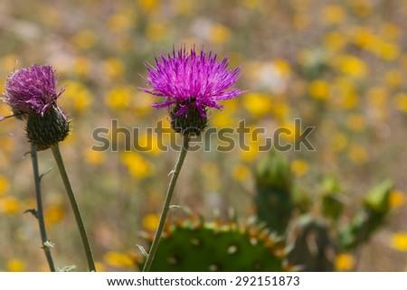 purple thistle crop - stock photo