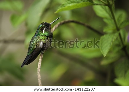 Purple-throated Mountain Gem Photographed in Costa Rica. - stock photo