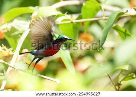 Purple-throated Sunbird in forest green with nature - stock photo