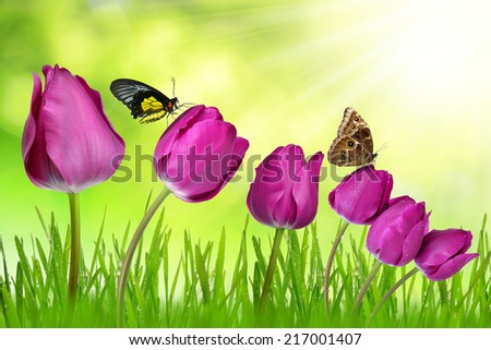 purple tulips with dewy  grass and butterflies on green natural background - stock photo