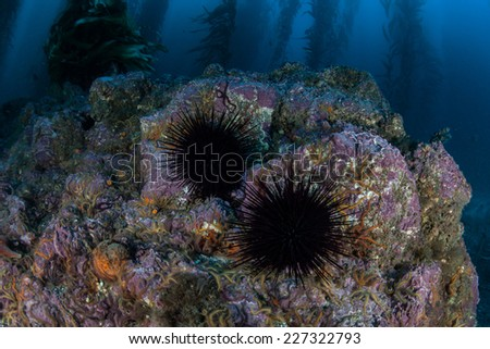 Purple urchins cling to a rocky bottom in a giant kelp forest near the Channel Islands in California. Kelp provides an important habitat for many fish and invertebrates. - stock photo