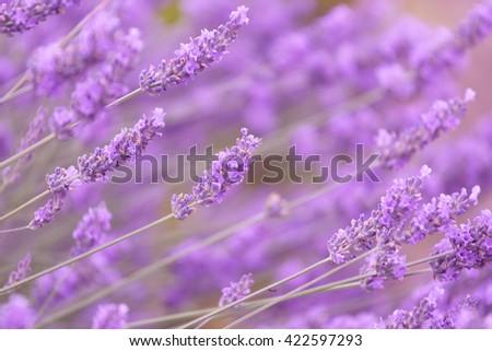 Purple violet color lavender flower field closeup background. - stock photo