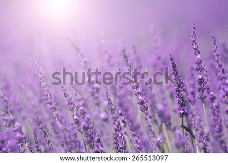 Purple violet color sunny blurred lavender flower field closeup background. Selective focus used. - stock photo