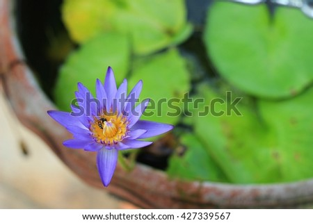 Purple water lily in garden - stock photo