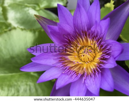 Purple water lily or lotus in daytime - stock photo