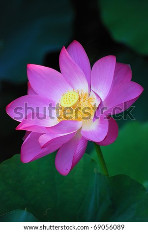 purple water-lily portrait - stock photo