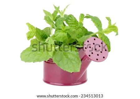 Purple Watering Can with Perfect Raw Fresh Green Mint Leafs isolated on white background - stock photo