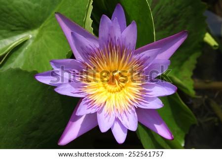 Purple waterlily or lotus flower macro shot - stock photo
