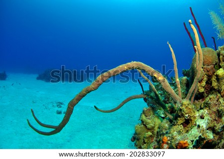 Purple Whip Corals on the reef, Grand Cayman - stock photo