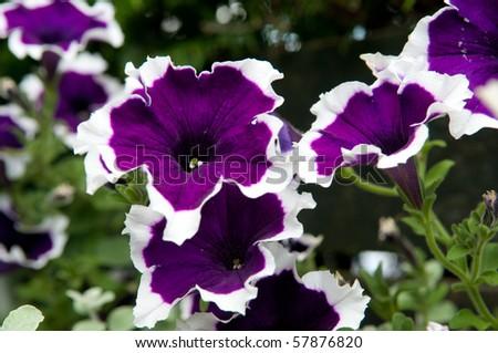 purple white petunia - stock photo