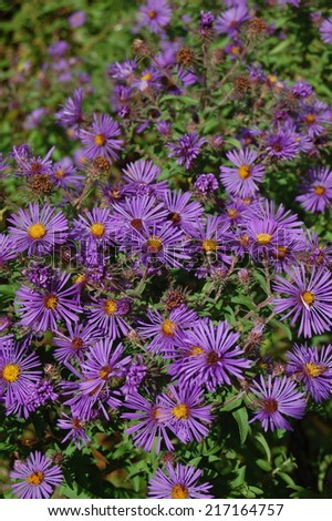 Purple Wild Aster with bee - stock photo