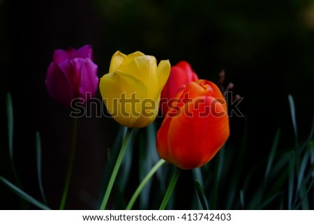 purple, yellow, and orange tulips isolated over a black background - stock photo