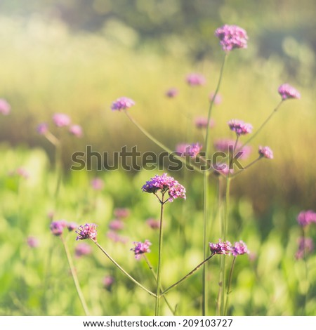 Purpletop vervain flowers in the field. Vintage style. - stock photo