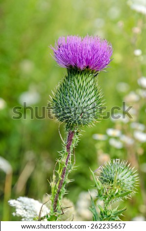 Purpul arctium lappa on green grass background - stock photo