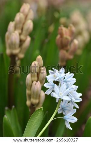 Puschkinia scilloides - stock photo