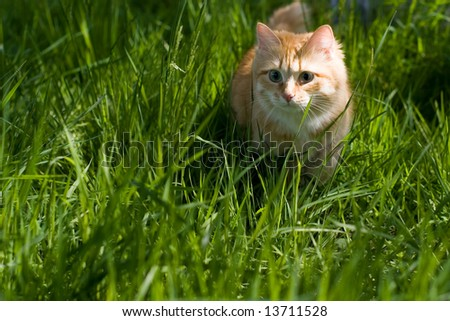 pussy cat hunter - stock photo