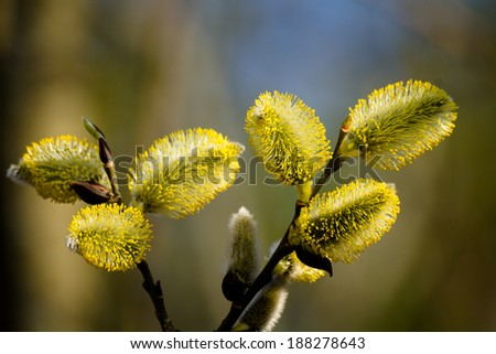 Pussy-willow - stock photo