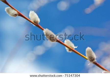 Pussy willow. Beautiful composition of nature. - stock photo