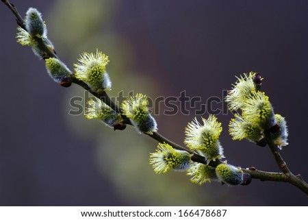 pussy willow blossom - stock photo