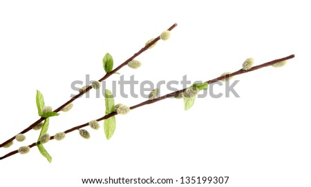 Pussy-willow twigs isolated on white - stock photo