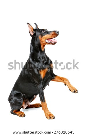 Put out your paw. Sitting doberman pinscher giving his paw on isolated white background. - stock photo