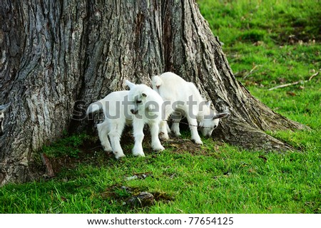 Pygmy goat kids by Sugar Maple tree trunk, family farm, Webster County, West Virginia, USA - stock photo